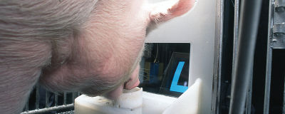 See Pigs Master a Joystick Video Game