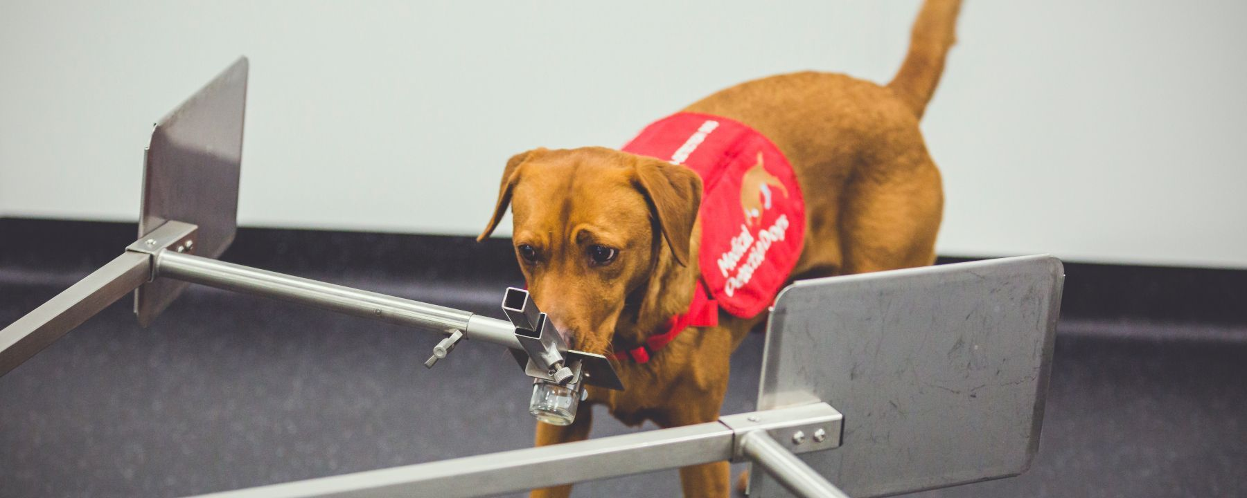 Watch a Trained Pup Detect Prostate Cancer From a Urine Sample