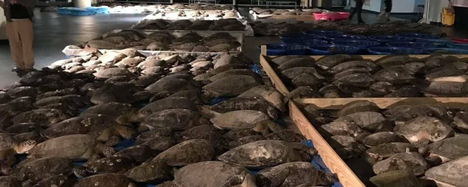 Thousands of Sea Turtles Immobilized by Brutal Texas Winter Storm