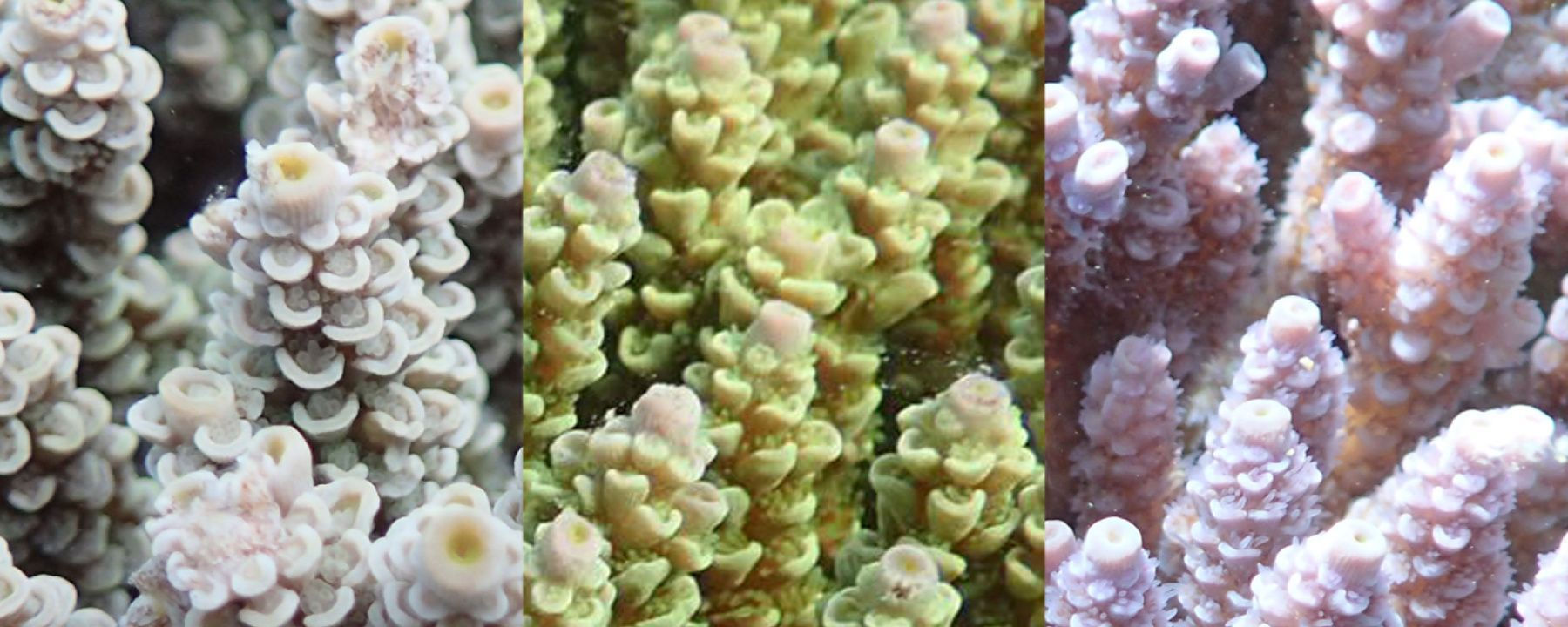 Certain Color Varieties of a Coral Are More Protected from Bleaching