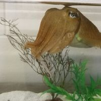 Cuttlefish Delay Gratification, a Sign of Smarts