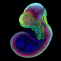Lab-Grown Mouse Embryos Form Limbs and Organs