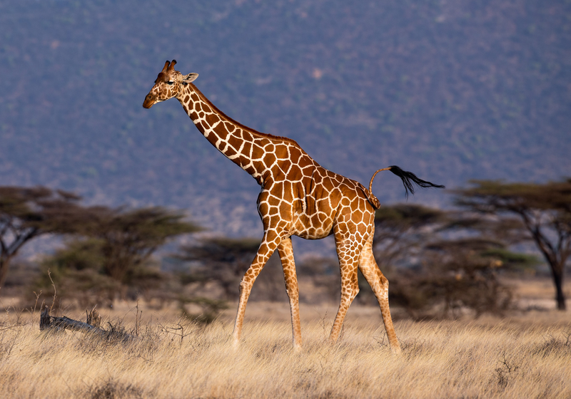 "Genome Reveals Clues to Giraffes' ""Blatantly Strange"" Body Shape"