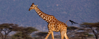 "Genome Reveals Clues to Giraffes' ""Blatantly Strange"" Body Shape"
