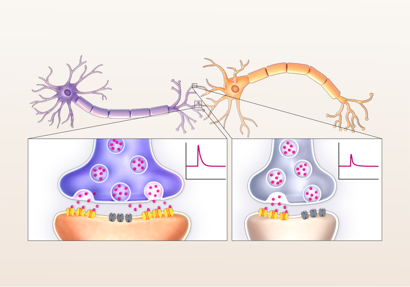 Infographic: A New Model of Synapse Strength