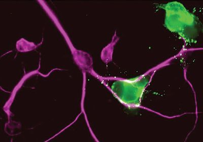 A Bright New Tool to Record Cellular Interactions