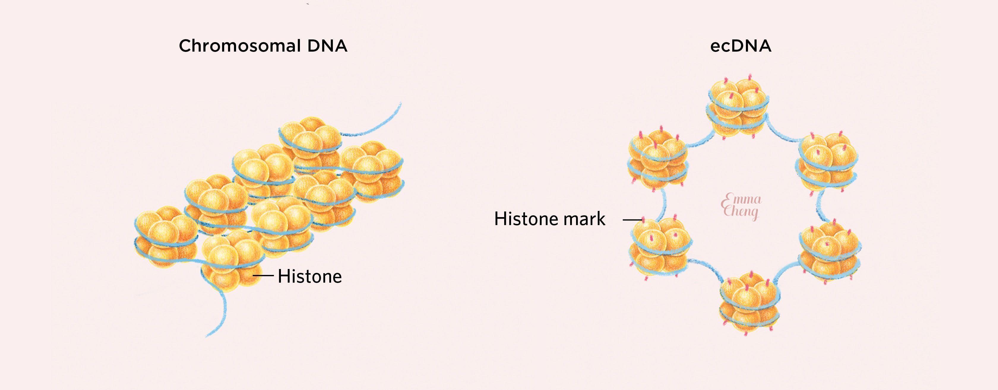 dna-infographic-histone.jpg