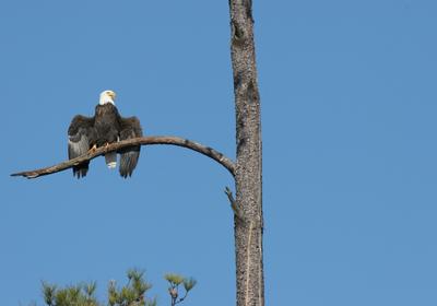 Bald Eagle Killer Identified
