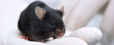 Cerebellum Plays Crucial Role in Metabolizing Alcohol in Mice