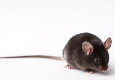 High Stress Hormone Levels Halt Mouse Fur Growth