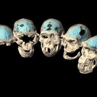 Early Humans' Brains Were More Apelike than Modern