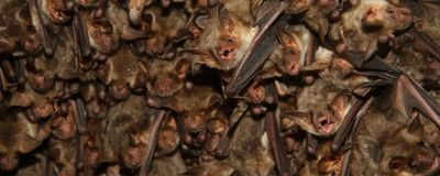 When Pursuing Prey, Bats Tune Out the World