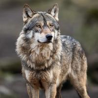 爱达荷州大力推广猎狼的法案已提交给州长
