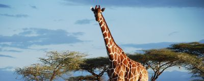 Whole-Genome Data Point to Four Species of Giraffe