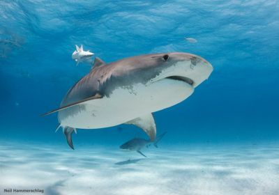 While Some Sharks Flee, Tiger Sharks Brave Stormy Seas