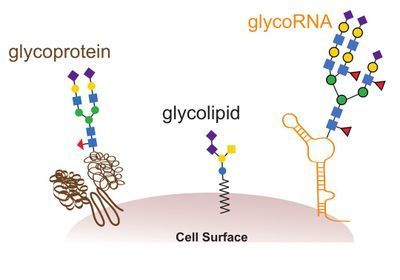 Newly Discovered Glycosylated RNA Is All Over Cells: Study