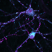 New Role for Leptin: Promoting Synapse Formation in Rat Neurons