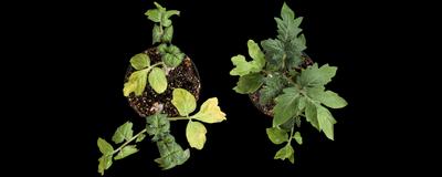 在植物中发现动物中的应激反应化合物普遍存在