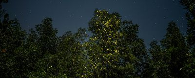 Firefly Tourism Sparks Calls for Sustainable Practices