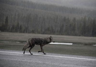 威斯康辛州很少发生与鹿相撞的事故,也许这要归功于狼