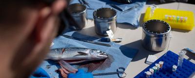 Farmed Atlantic Salmon Likely Passed Virus to Wild Pacific Salmon