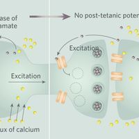 Infographic: Reverse Signaling Between Neurons