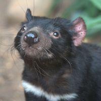 Deadly Facial Tumors Spur Tasmanian Devil Evolution: Study