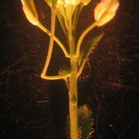 A Newly Found Organ for <em>Arabidopsis</em>