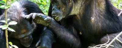 "Chimp Groups Have Their Own Distinct ""Handshakes"""