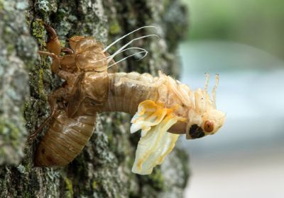 Scientists Go Down the Cicada Hole