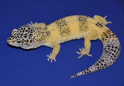 """Lemon Frost"" Leopard Geckos' Cancers Similar to Human Melanomas"