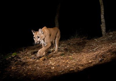 Pandemic Lockdown Eases Mountain Lions' Fear of Urban Areas
