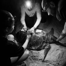 Tiny Hitchhikers Reveal Turtles' Movements and Foraging Ecology