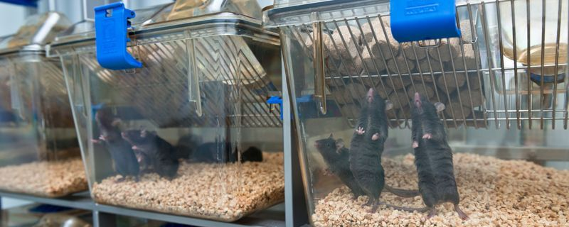 Australian Research Faces Impending Scarcity of Lab Rodents