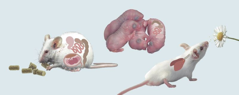 Infographic: Maternal Microbiota Has Lasting Effects on Offspring
