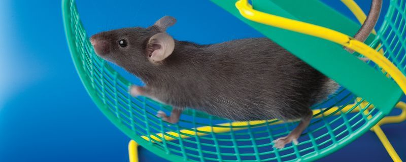 Exercising During Pregnancy Protects Mouse Offspring
