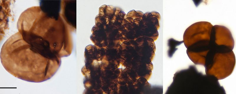 Discovered: Fossilized Spores Suggestive of Early Land Plants