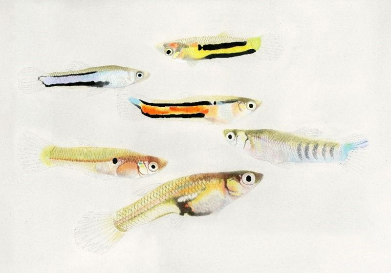 Fish Species' Y Chromosomes Diverged Even Without Recombination