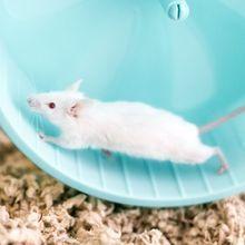 Putative Exercise Hormone Irisin Boosts Mouse Brainpower