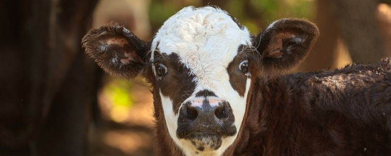 Potty Party: Researchers Show Young Cows Can Be Toilet-Trained