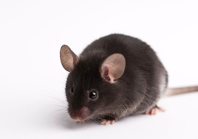 Photograph of a brown laboratory mouse