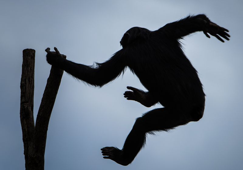<em>Alu </em>Leap May Explain Why Apes Don&rsquo;t Have Tails