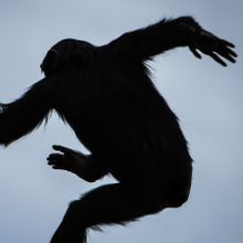 Alu Leap May Explain Why Apes Don't Have Tails