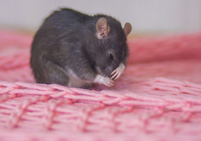 Photograph of a mouse covering his face with his paw.
