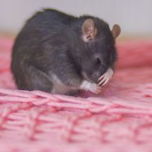 Bless You: Mouse Model Reveals Molecular Pathway Behind Sneezing