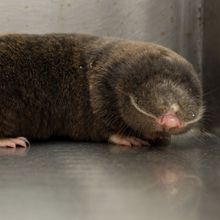 Blind Mole Rats Use Junk DNA to Combat Cancer