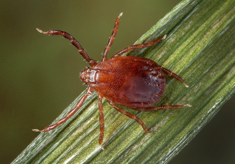Bacterial Symbionts Tell Ticks When to Eat