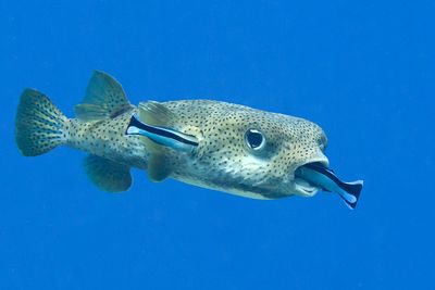 """Cleaner Fish Alter Behavior if Partners Can See Them """"Cheating"""""""