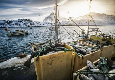 dead fish piled in boxes along a pier, with a boat and snowy mountains in the background