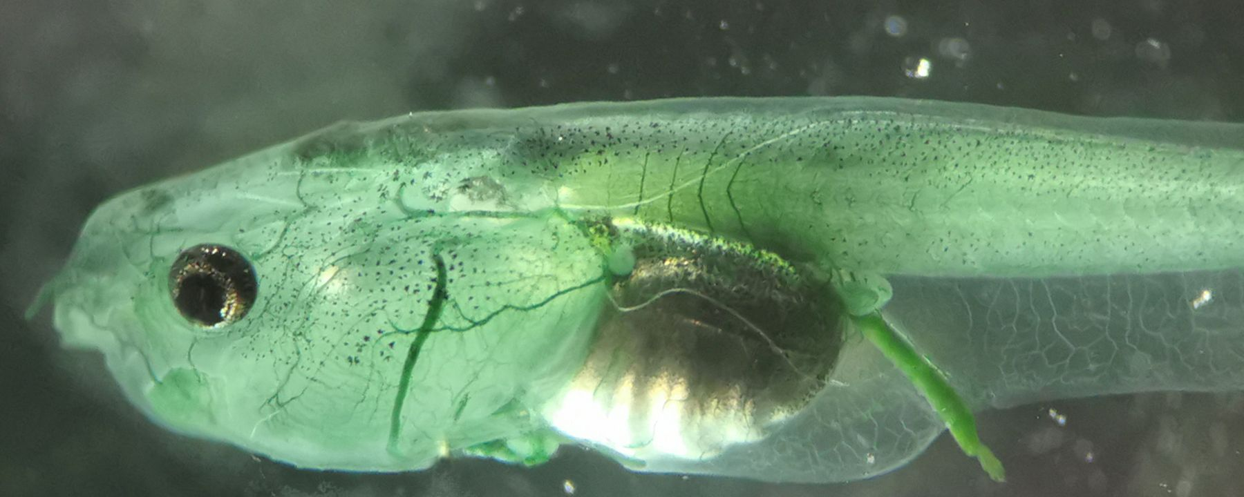 Scientists Use Photosynthesis to Power an Animal's Brain
